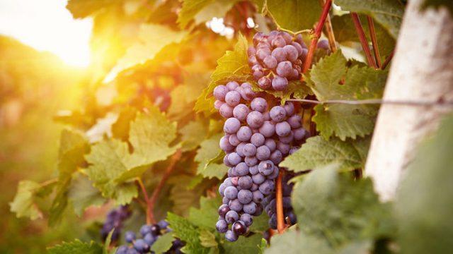 bien tailler la vigne - quand et comment