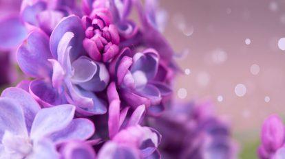 comment bouturer les lilas