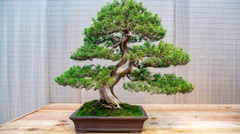 comment s'occuper d'un bonsai