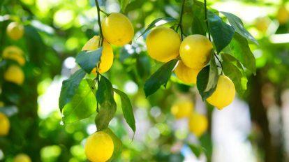 comment tailler un citronnier - conseils