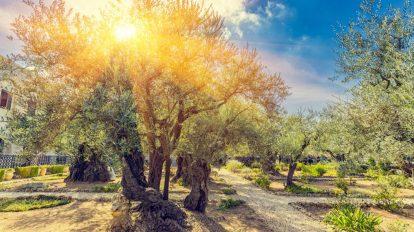 comment tailler un olivier - conseils